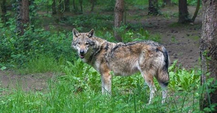 Le loup perturbe le plan de développement de la production ovine dans l'Yonne