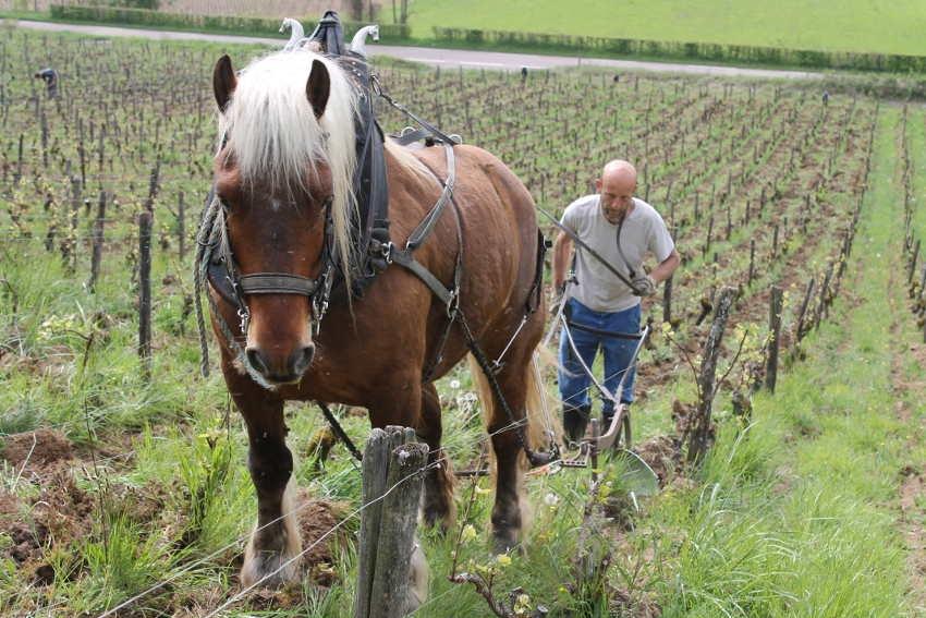 Le Domaine Maria CUNY choisit la traction animale pour travailler ses vignes
